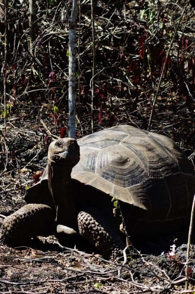 Isabela Galapagos tortoise in the wild