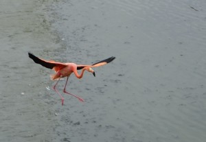 flamingo coming in for a landing, wings open