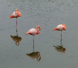 Trio of flamingos and their reflections