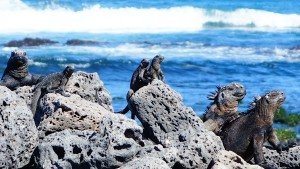 Marine iguanas coming out of the ocean
