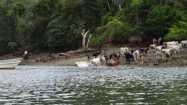 cattle herded across river to Boca Brava