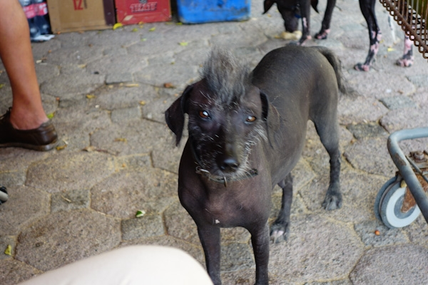 Mexican hairless dog is supposed to look like this.