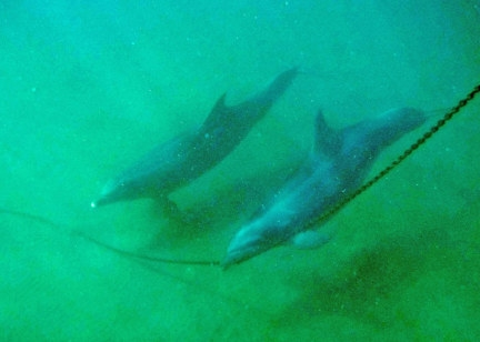 Two dolphins , one rubbing on anchor chain