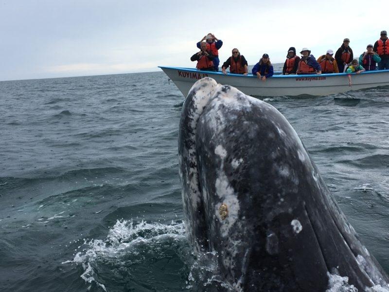 the friendly whales of san ignacio lagoon galivant s travels